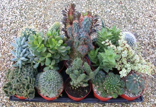 Pungilandia offerte for Foto piante grasse particolari