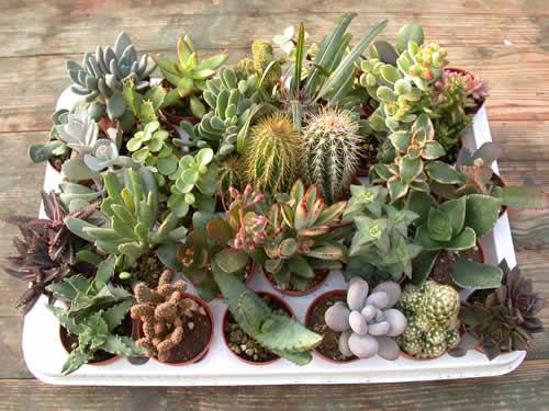 Pungilandia offerte for Vendita piante grasse on line
